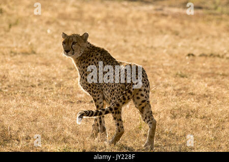 Female cheetah walking in the Masai Mara game reserve in Kenya - Stock Photo