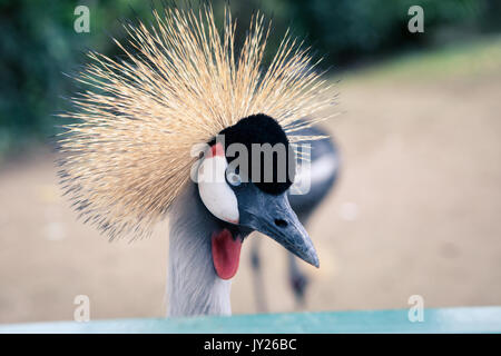 Beautiful crowned crane with blue eye and red wattle - Stock Photo