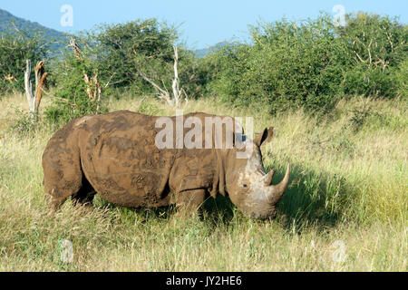 White rhinoceros covered in red mud Madikwe Game Reserve South Africa - Stock Photo