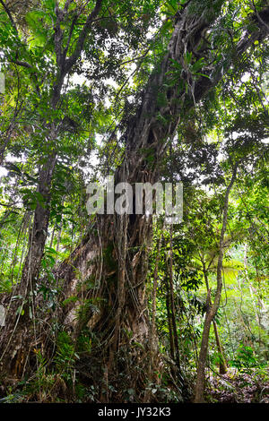 Giant Stranger Fig Tree growing in tropical rainforest, Daintree National Park, Cape Tribulation, Far North Queensland, - Stock Photo