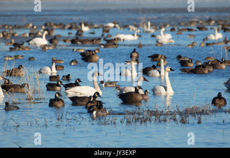 Canada geese (Branta canadensis) and tundra swans at McFadden Marsh, William Finley National Wildlife Refuge, Oregon - Stock Photo