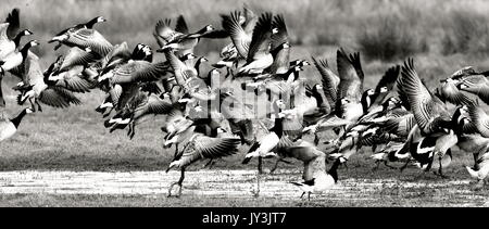 Barnacle Geese rising in black and white - Stock Photo