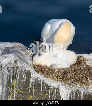 Northern Gannet - Stock Photo