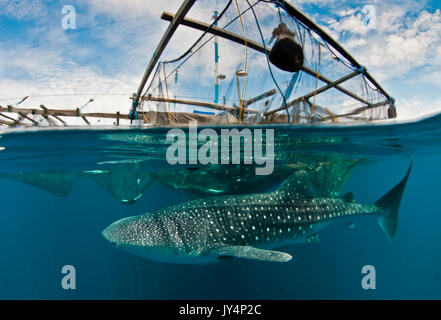 Split view showing above and below the waterline of a whale shark under a floating fishing platform, Cenderawasih - Stock Photo