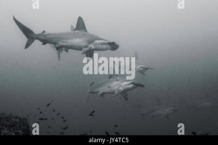 Underwater view of a school of scalloped hammerhead sharks, Darwin Island, Galapagos Islands. - Stock Photo