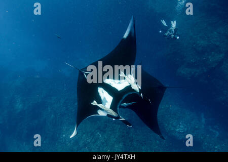 Two oceanic manta rays crossing paths, Revillagigedo Islands, Mexico. - Stock Photo