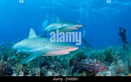 Caribbean reef sharks swimming over the coral reef, Gardens of the Queens, Cuba. - Stock Photo