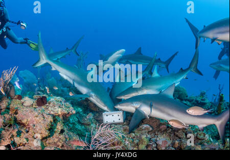 Large number of Caribbean reef sharks surrounding a bait box during a shark dive, Gardens of the Queens, Cuba. - Stock Photo