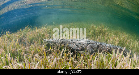 Underwater view of a cuban crocodile walking along the bottom ona bed of sea grass in the mangroves area of the - Stock Photo