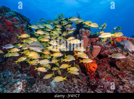 Large school of striped snapper swimming over the coral reef, Cabo Pulmo Marine Reserve, Mexico. - Stock Photo