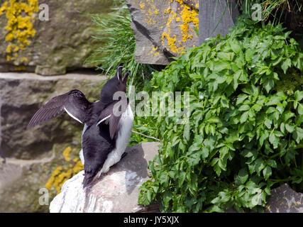 Razorbill perched on cliff - Stock Photo