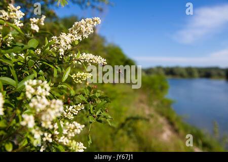 Ligustrum vulgare (wild privet) from the Drava River - Stock Photo