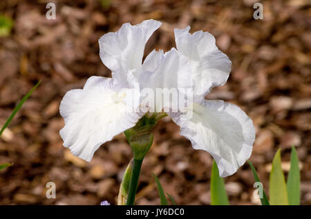 Iris germanica English Cottage - Stock Photo
