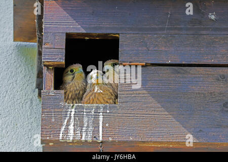Kestrel chicks sitting in their nest box, Switzerland. - Stock Photo