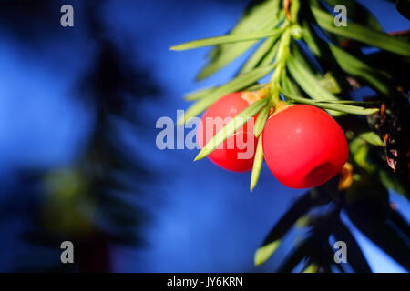 Ripe yew tree berries, or arils, the only edible part of the toxic yew tree. - Stock Photo