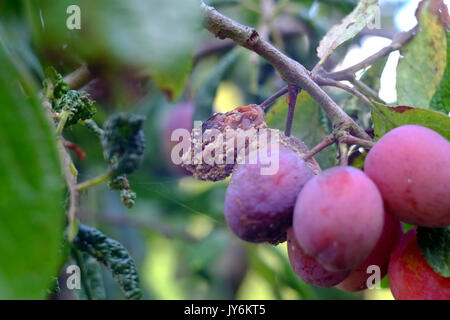 Victoria plums showing signs of disease and fruit rot. - Stock Photo