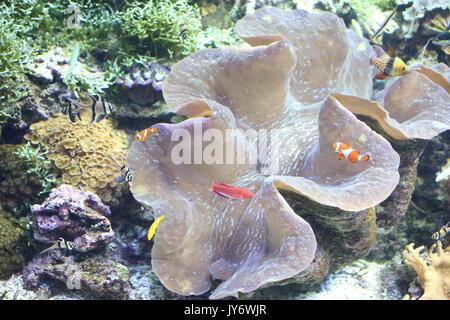 Giant clam (Tridacna gigas) in Okinawa, Japan - Stock Photo