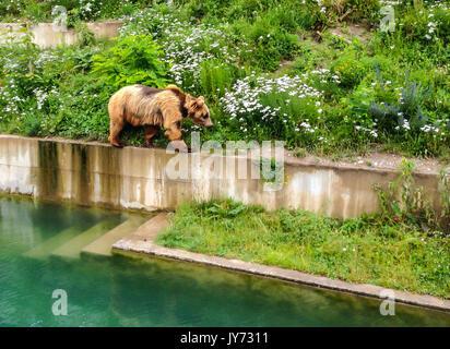 A Bear is walking along edge of pool in Bern Bear Pit (Barengraben) in Bern Bear Park, Berne, Switzerland, Europe. - Stock Photo