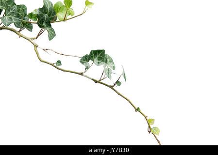 Hedera helix, English ivy isolated. Stock Photo