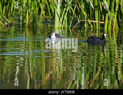 Female Eurasian Coot, Fulica atra, with chick, Pennington Flash Country Park, Leigh, United Kingdom - Stock Photo