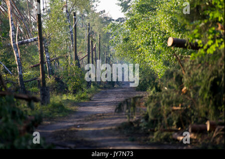 Fallen trees in forest caused by extremely high wind speed during the storm a few days ago in Jeziorki, Poland 16 - Stock Photo