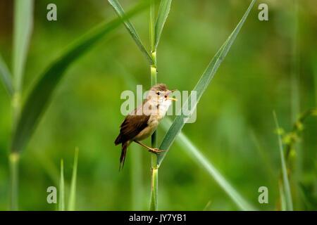 The marsh warbler (Acrocephalus palustris) singing in the bush, Drava River - Stock Photo