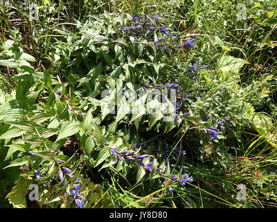 blue willow gentian, (Gentiana asclepiadea) - Stock Photo