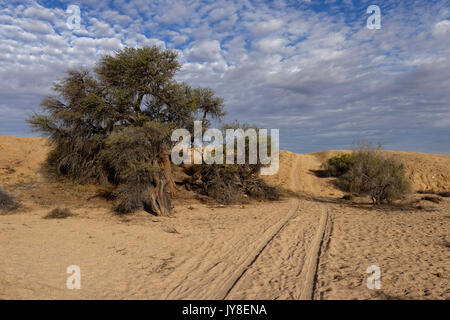 Farm Wüstenquell (Wuestenquell Guest Farm): Sandy dirt road in Namib Desert, with acacia, Distrikt Karibib, Namibia - Stock Photo