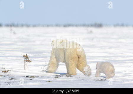 Polar bear mother (Ursus maritimus) with new born cub walking on tundra, Wapusk National Park, Manitoba, Canada - Stock Photo