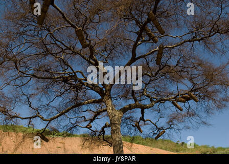 Bee Hives for honey bees in the branches of a tree, Omo Valley, Ethiopia, Apis, Insecta, Hymenoptera, Apidae, insects, - Stock Photo