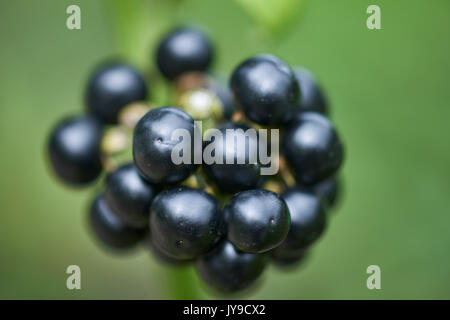 Solanum scabrum fruiting garden huckleberry black berries close up ...