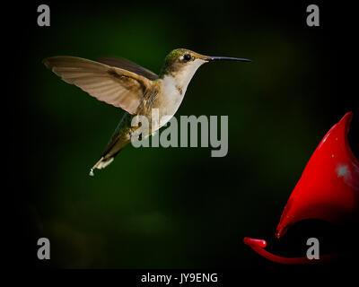 Hovering hummingbird near liquid feeder - Stock Photo