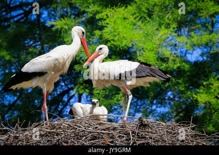 Adult  white storks (Ciconia ciconia) with chick on nest, Basel, Switzerland. - Stock Photo