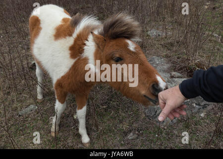 Wild Pony at Grayson Highlands State Park sniffing a hiker's hand - Stock Photo