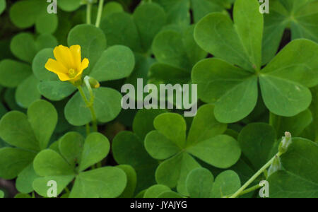 Clover patch with yellow flower close-up