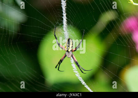 yellow garden spider hangs on web in front of brilliant green leaf - Stock Photo