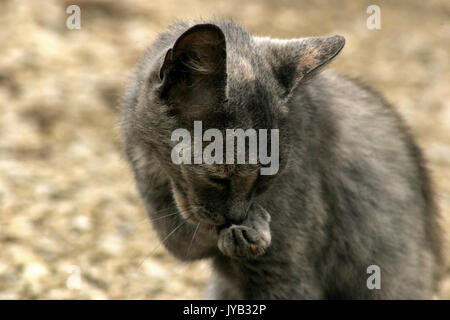 Gray cat cleaning itself - Stock Photo