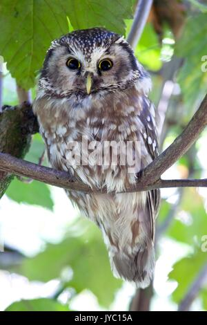 The boreal owl (Aegolius funereus) is a nocturn bird of prey that lives in the woods in the alps. Park of Baviera - Stock Photo