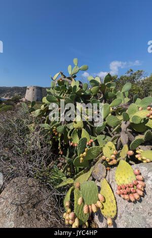 Prickly pears of the inland frame the tower overlooking the turquoise sea Cala Pira Castiadas Cagliari Sardinia - Stock Photo
