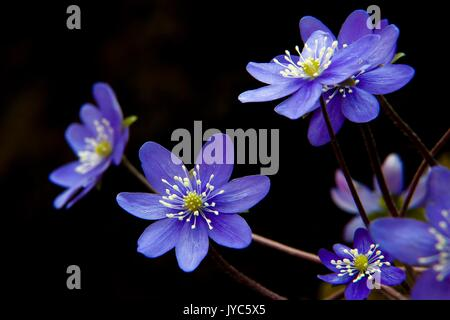 Hepatica, liverleaf, liverwort, is a genus of herbaceous perennials in the buttercup family, native to central and - Stock Photo