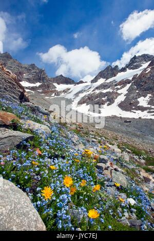 Forget-me-not (Myosotis ambigens) and the earliest-blooming of the daisies, Leopard's Bane, flowering by the glacier - Stock Photo