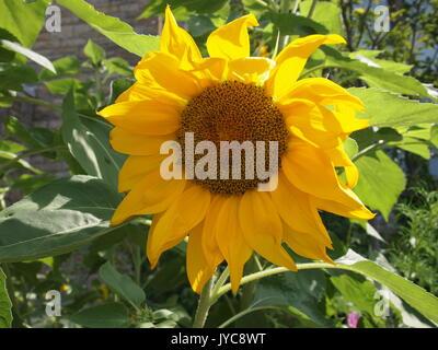 A brilliant yellow sunflower in August, Ottawa, Ontario, Canada. - Stock Photo