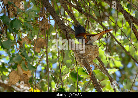 African paradise flycatcher (Terpsiphone viridis): hen (female) sitting on nest with a chick in tree, Farm Ozondjisse, - Stock Photo