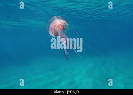 A mauve stinger jellyfish Pelagia noctiluca underwater close to water surface in the Mediterranean sea, Calabira,Tropea, - Stock Photo
