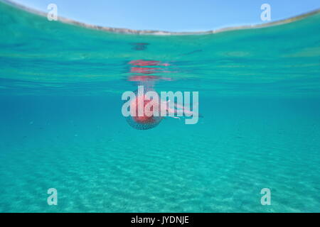 A mauve stinger jellyfish Pelagia noctiluca underwater below the water surface, Mediterranean sea, Spain, Costa - Stock Photo