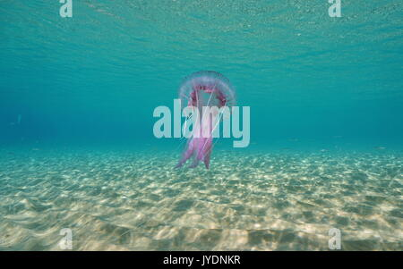 A mauve stinger jellyfish Pelagia noctiluca underwater between a sandy seabed and the water surface, Mediterranean - Stock Photo