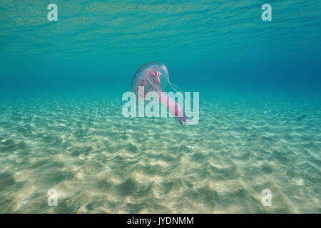 Underwater jellyfish mauve stinger Pelagia noctiluca between a sandy seabed and water surface, Mediterranean sea, - Stock Photo