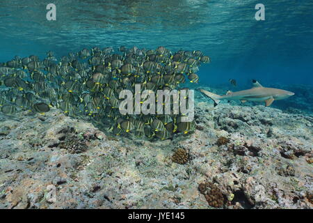A school of tropical fish whitespotted surgeonfish follow a blacktip reef shark, underwater Pacific ocean, French - Stock Photo