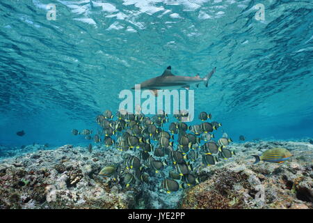 Underwater life a school of fish whitespotted surgeonfish with a blacktip reef shark, Pacific ocean, French Polynesia - Stock Photo