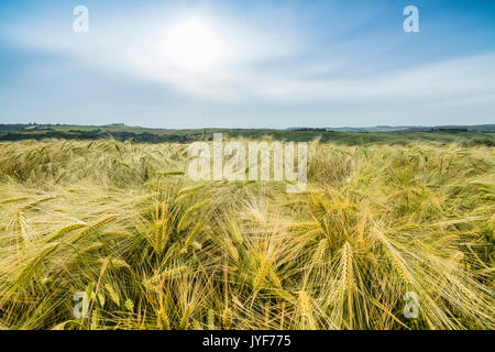 Fields of ears of corn and on the gentle green hills of Val d'Orcia province of Siena Tuscany Italy Europe - Stock Photo